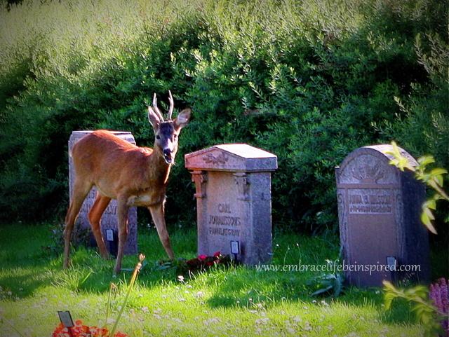 Deer in Cemetery 2