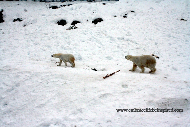 Polar bears walking in the snow